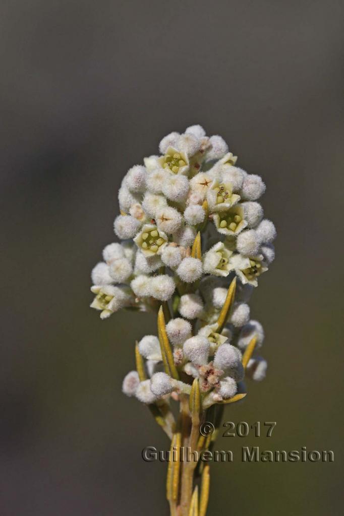 Phylica rigidifolia