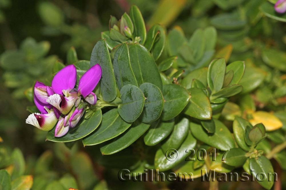 Polygala fruticosa