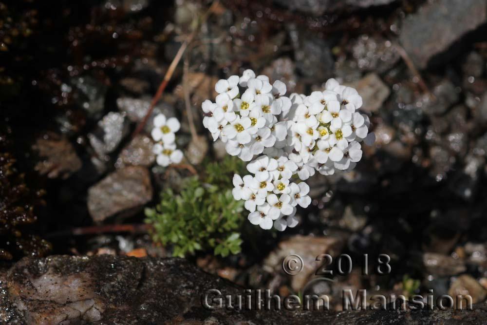 Hornungia [Pritzelago] alpina