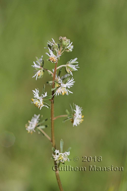 Resedaceae