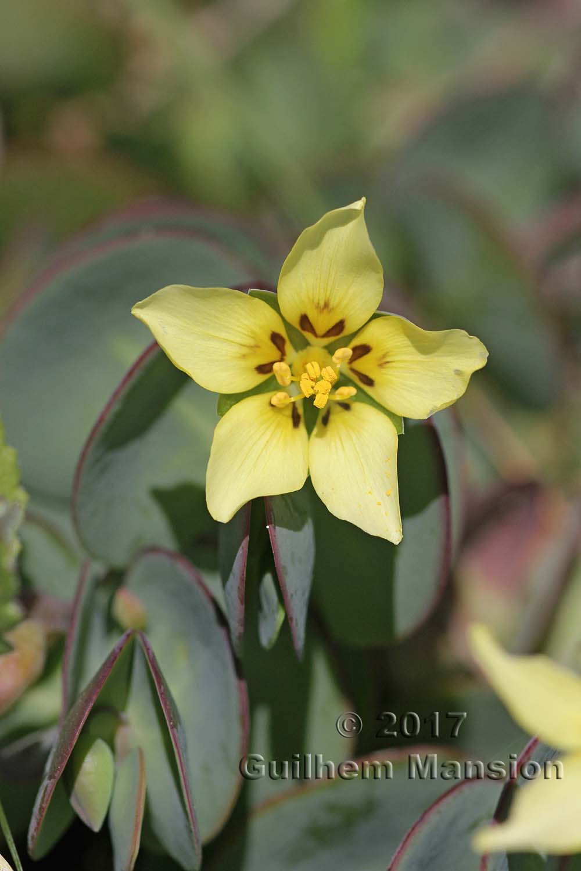 Roepera cordiflora