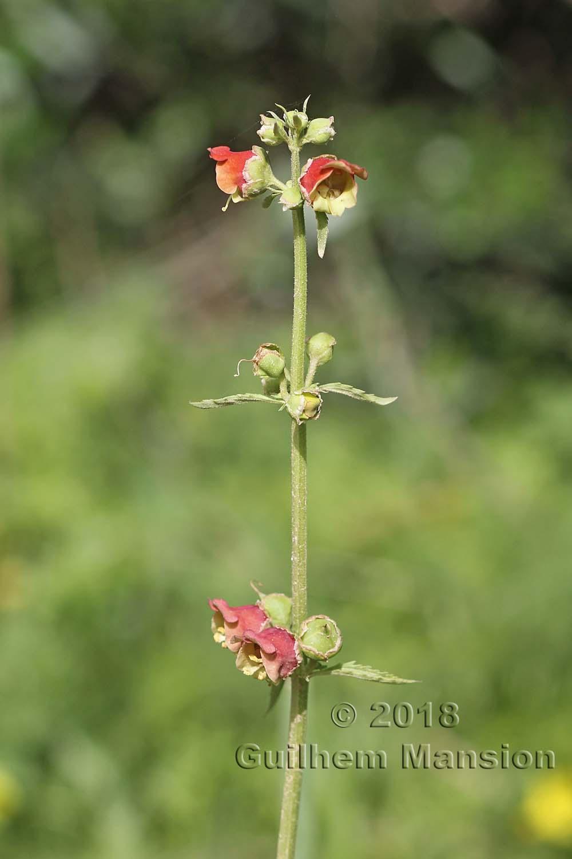 Scrophularia sambucifolia