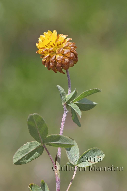 Trifolium