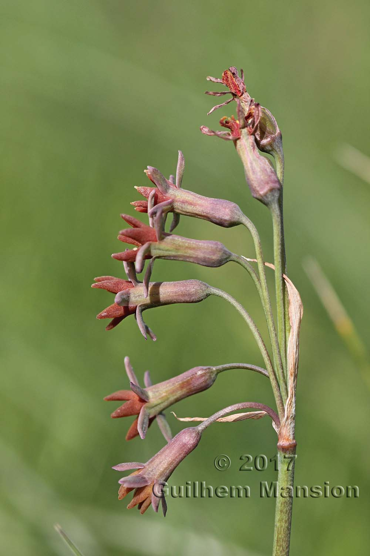 Tulbaghia capensis