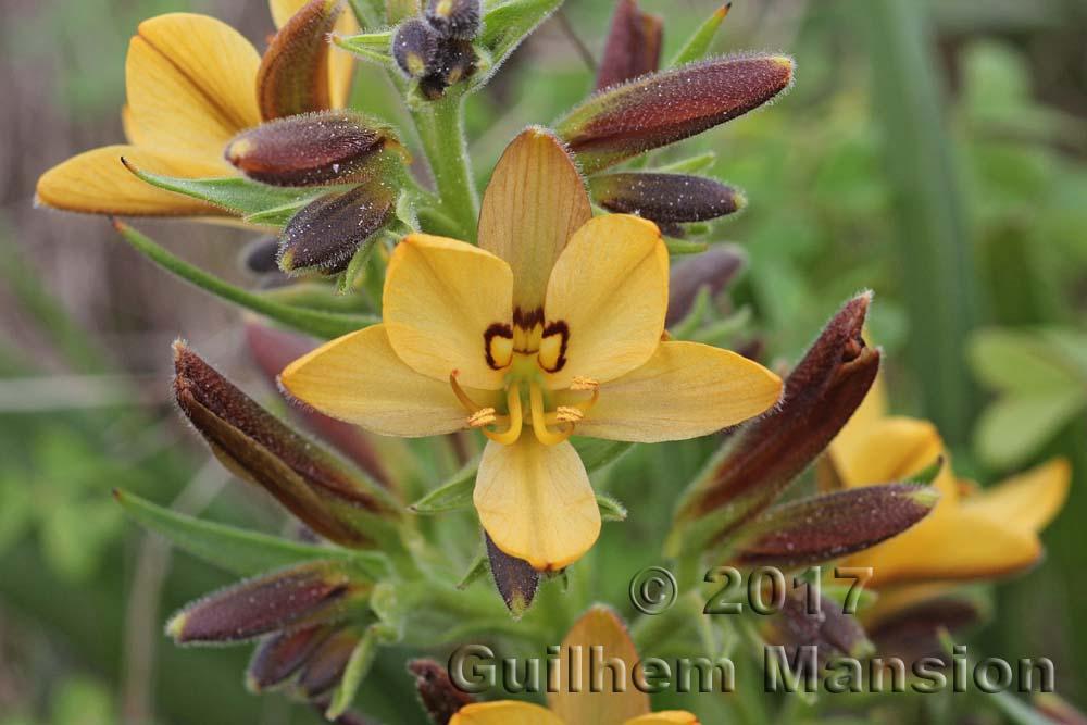 Haemodoraceae