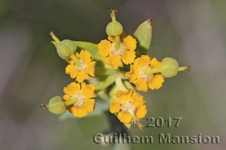 Euphorbia mauritanica 20170826 004
