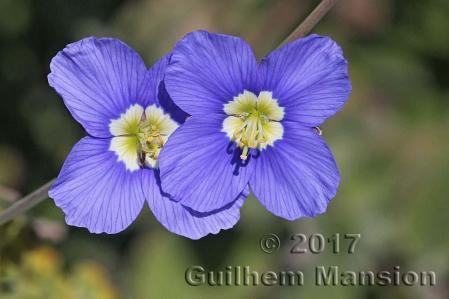 Heliophila coronopifolia 09
