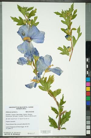 Neuchatel herbarium hibiscus syriacus neu000092644