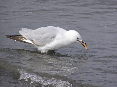 Red billed gull smoking