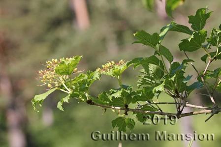 Viburnum opulus 02