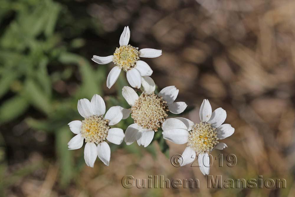 Achillea ptarmica subsp. pyrenaica