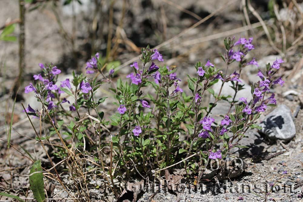 Clinopodium alpinum [Acinos alpinus]