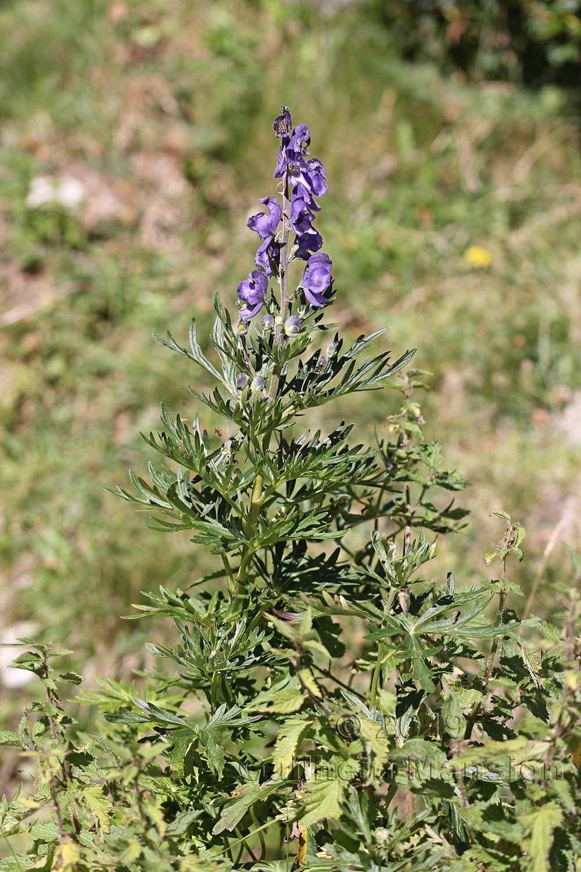 Aconitum napellus subsp. vulgare