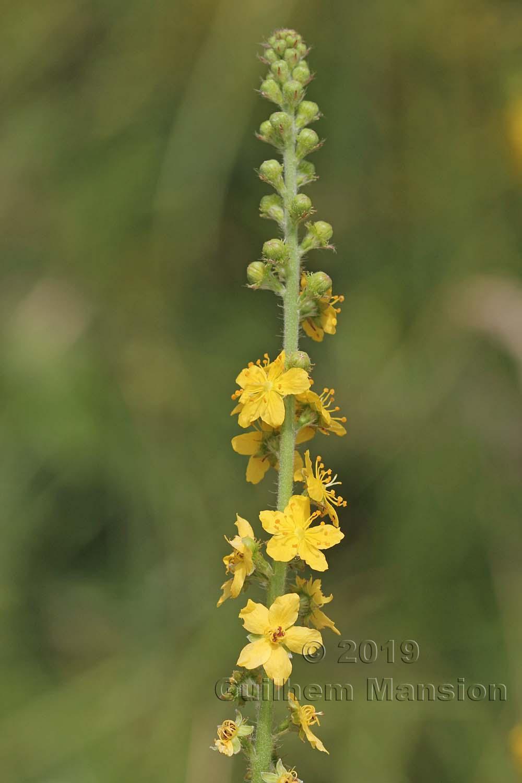 Agrimonia eupatoria