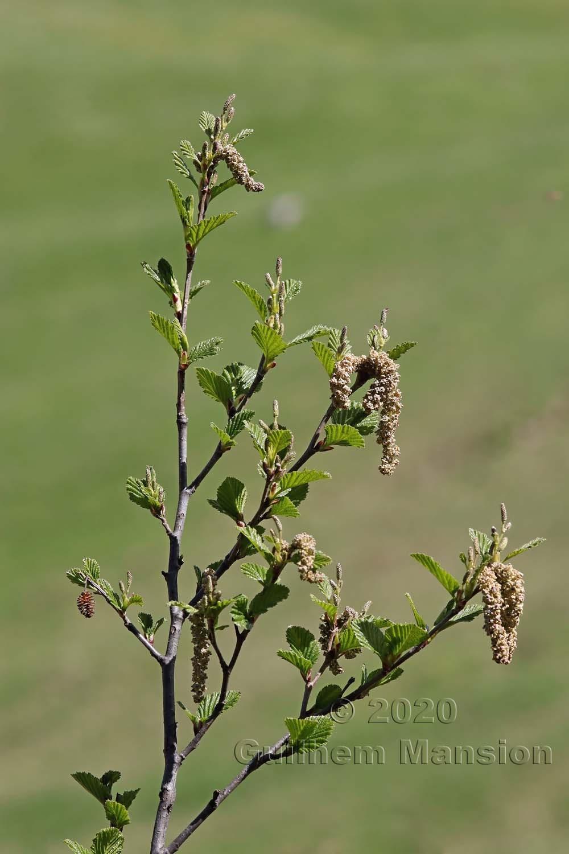 Alnus viridis