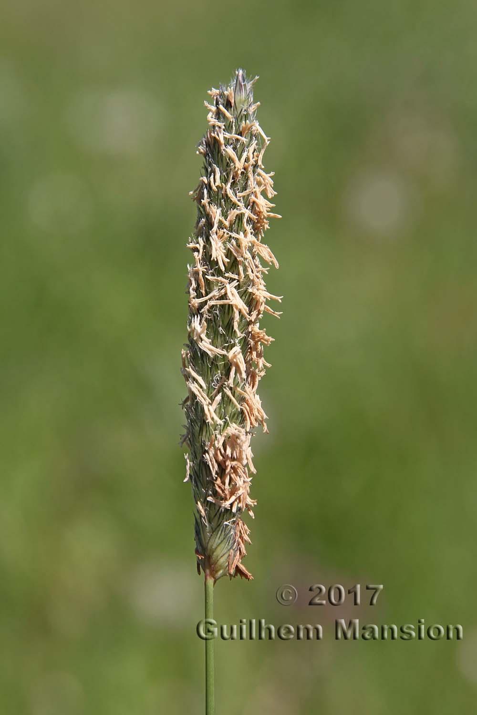Alopecurus pratensis