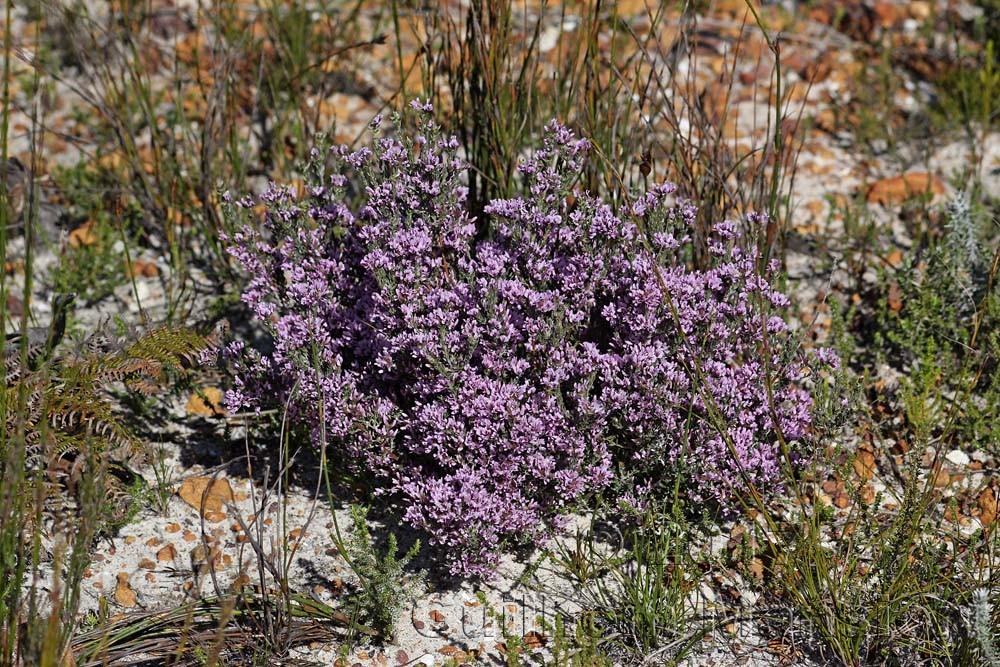 Amphithalea ericifolia