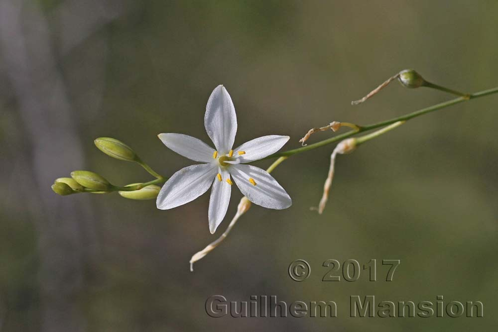 Agavoideae [Agavaceae]