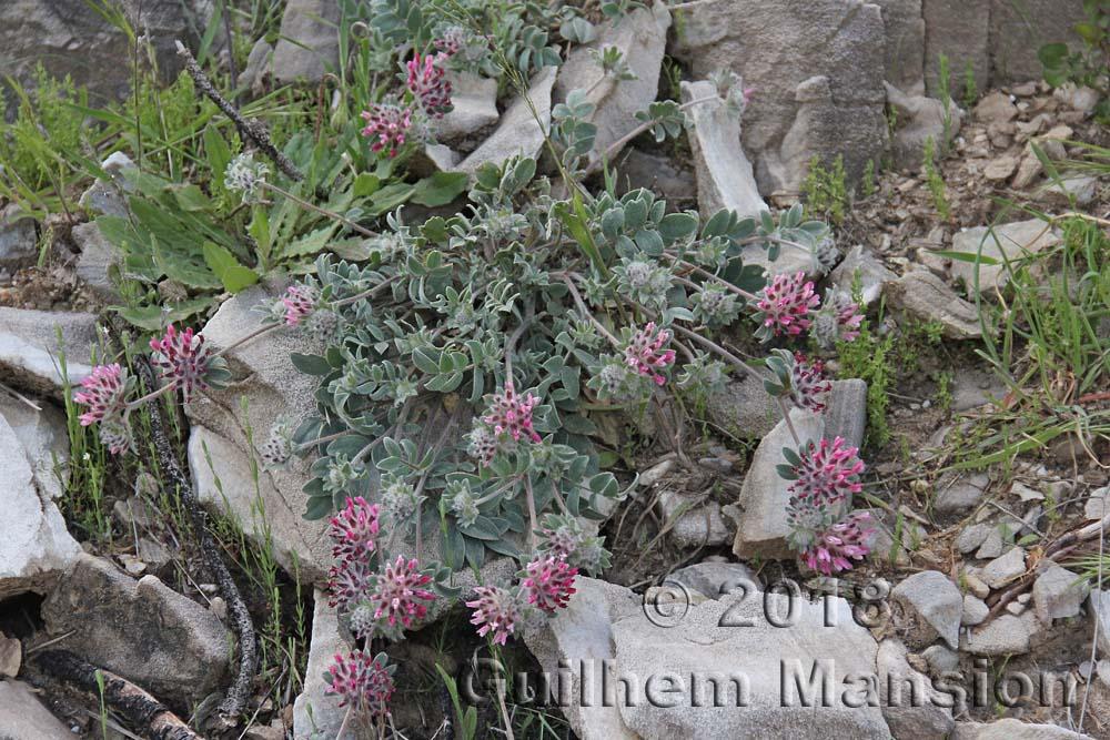 Anthyllis vulneraria subsp. rubriflora