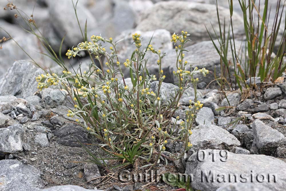 Artemisia eriantha