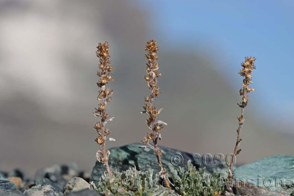 Artemisia genepi