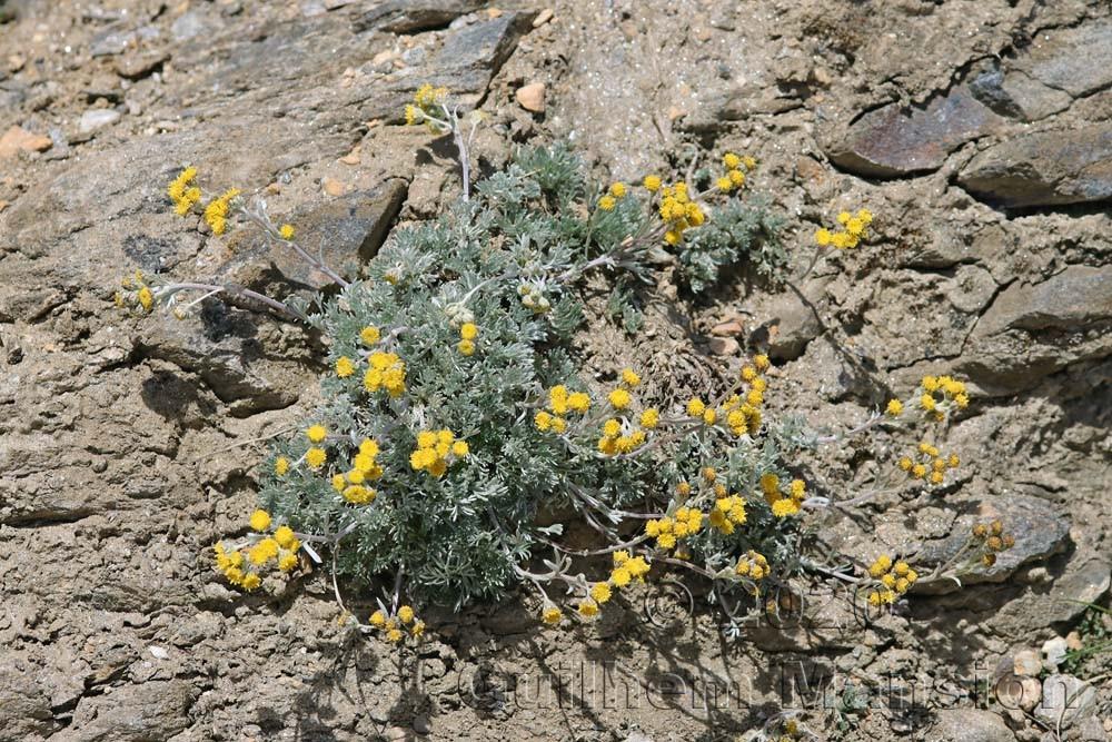 Artemisia glacialis