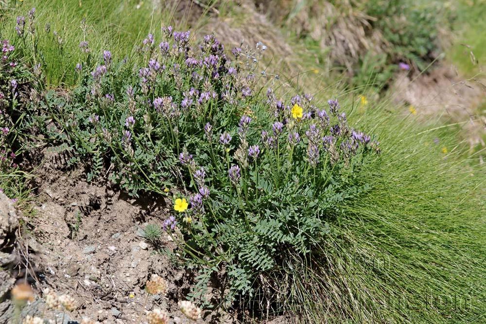 Astragalus leontinus