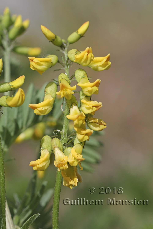 Astragalus pendiflorus