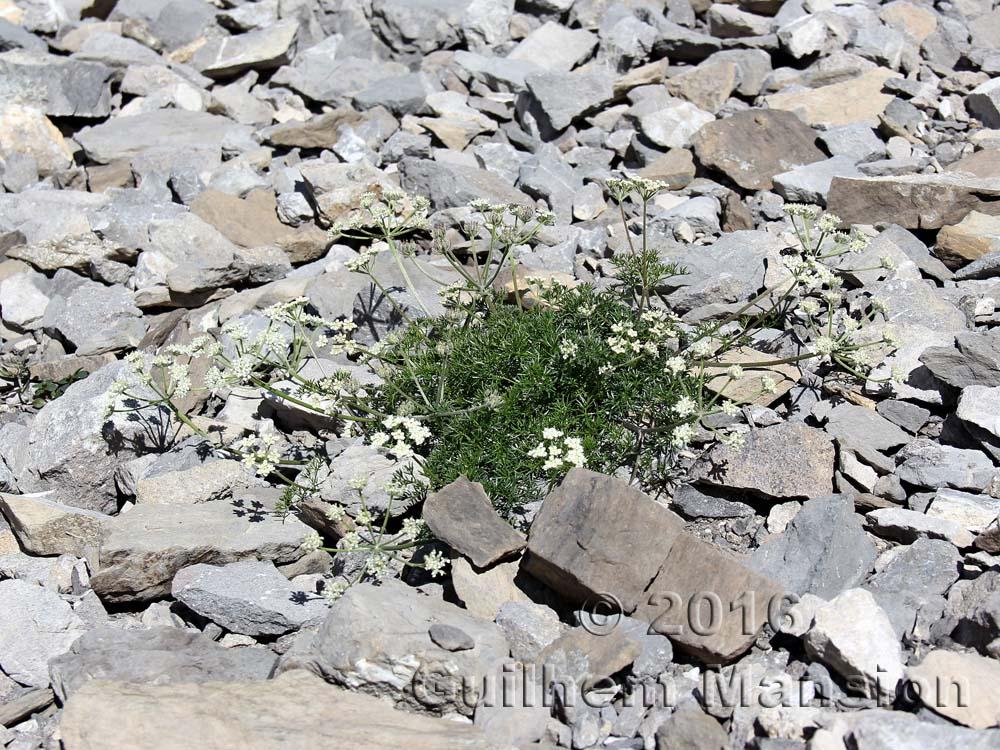 Athamanta cretensis