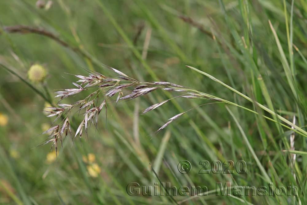 Avenula [Helictotrichon] pubescens