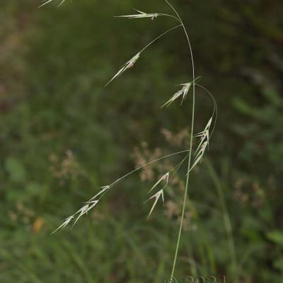 Bromopsis ramosa [Bromus ramosus]