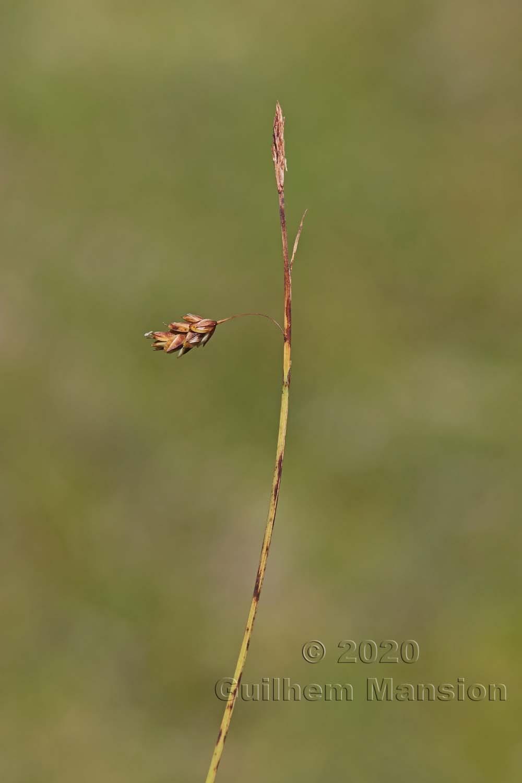 Carex cf. paupercula
