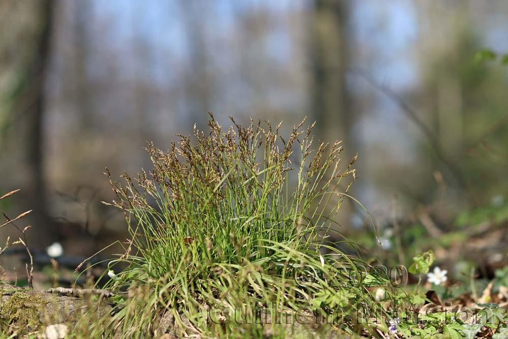 Carex digitata