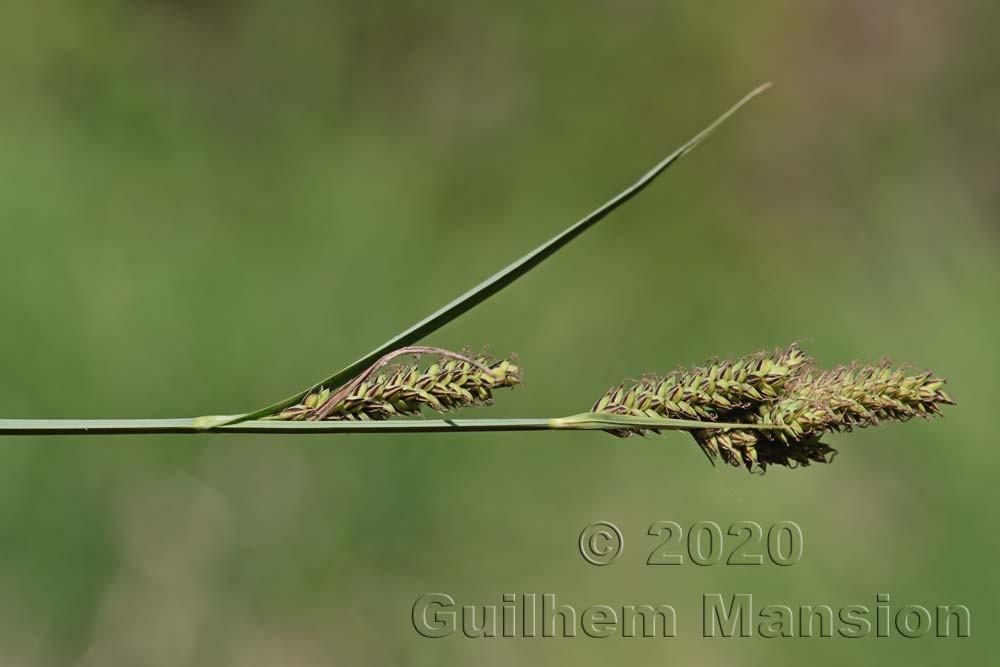 Carex hartmanii