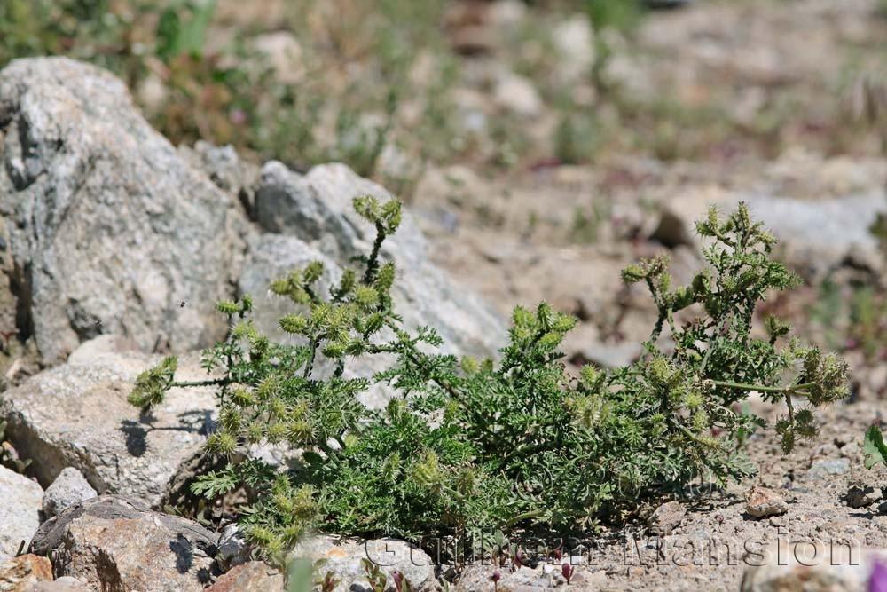 Caucalis platycarpos