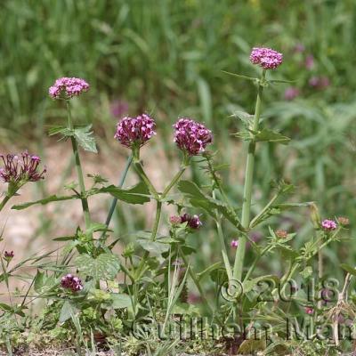 Valerianoideae