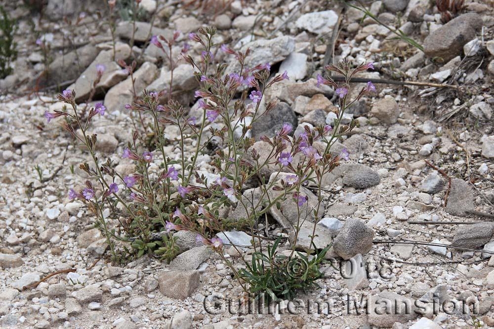 Chaenorhinum macropodum subsp. degenii