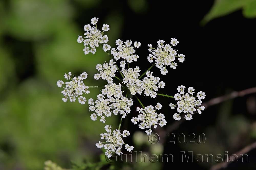 Chaerophyllum temulum