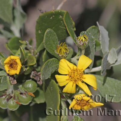 Chrysanthemoides