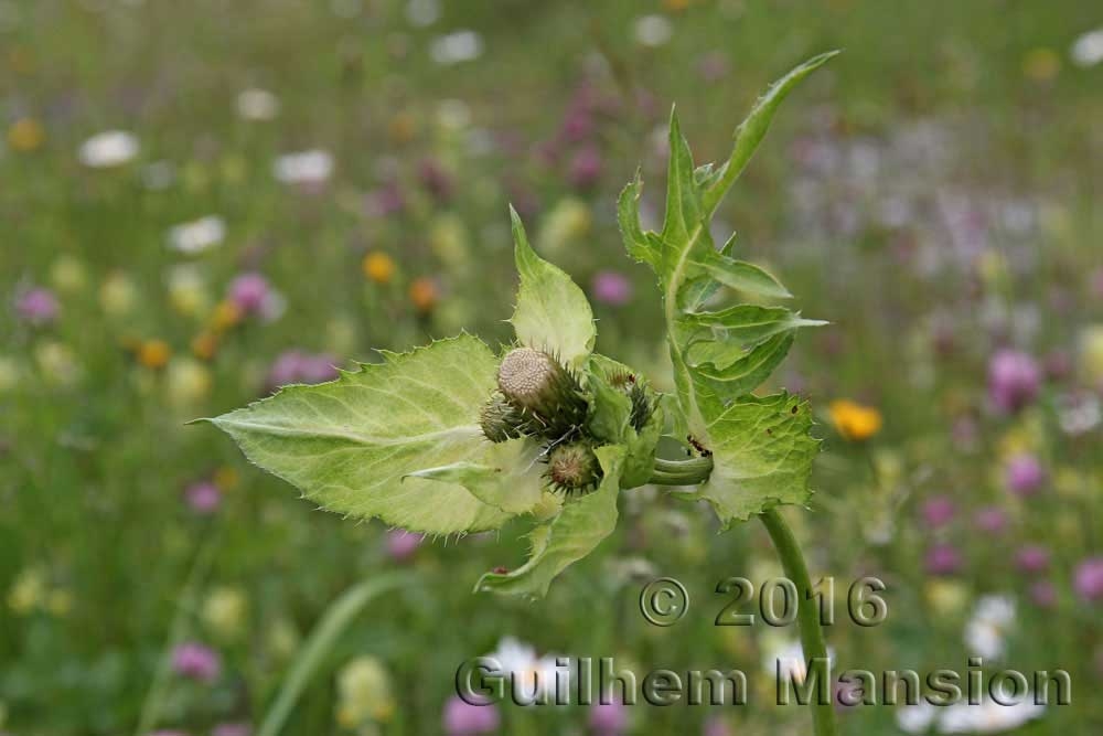 Cirsium oleraceum