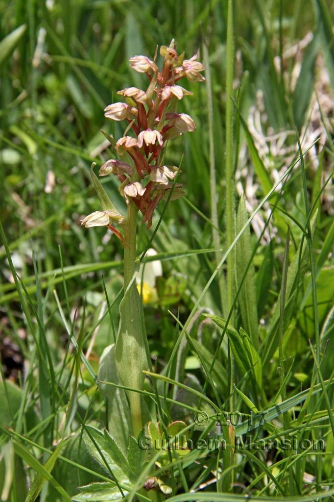 Dactylorhiza viridis [Coeloglossum viride]