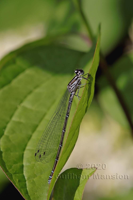 Coenagrion puella (F)