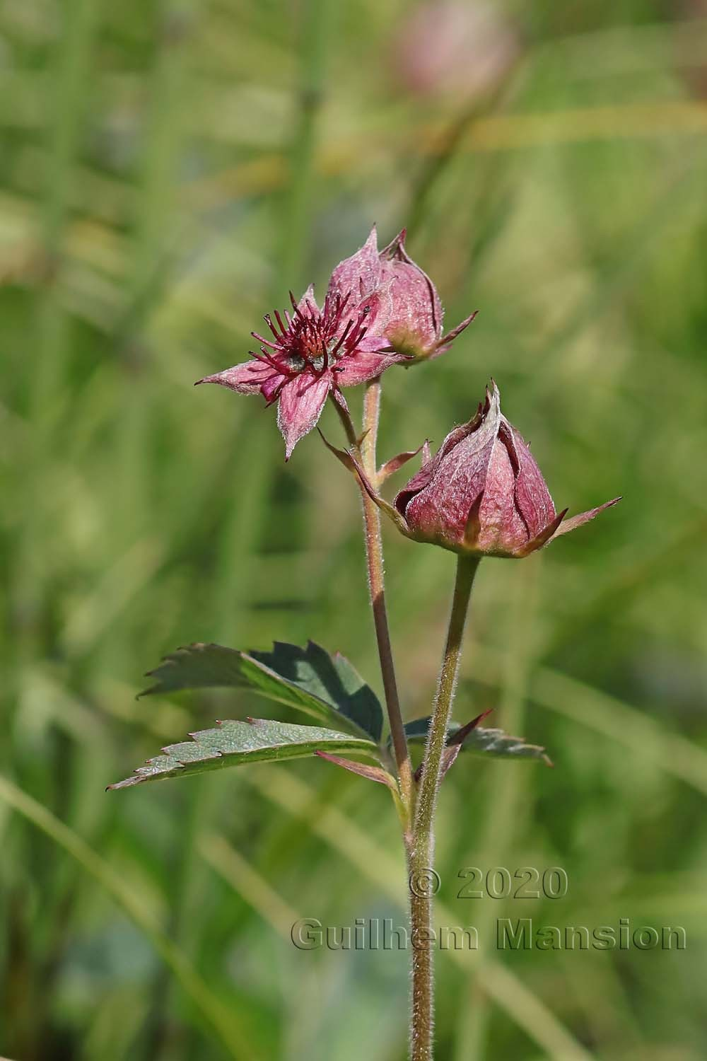 Comarum palustre [Potentilla palustris]