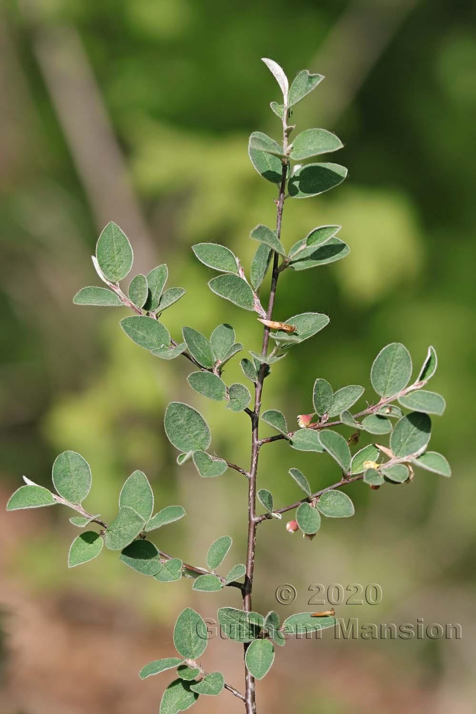 Cotoneaster integerrimus