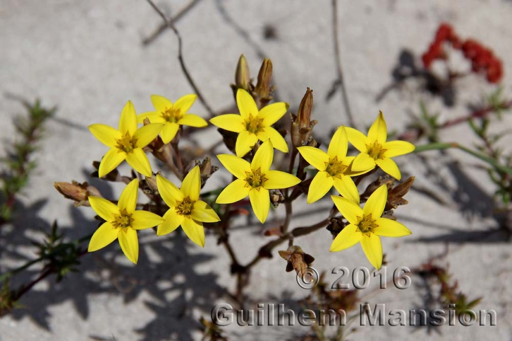 Crassulaceae