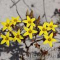 Famille - Crassulaceae