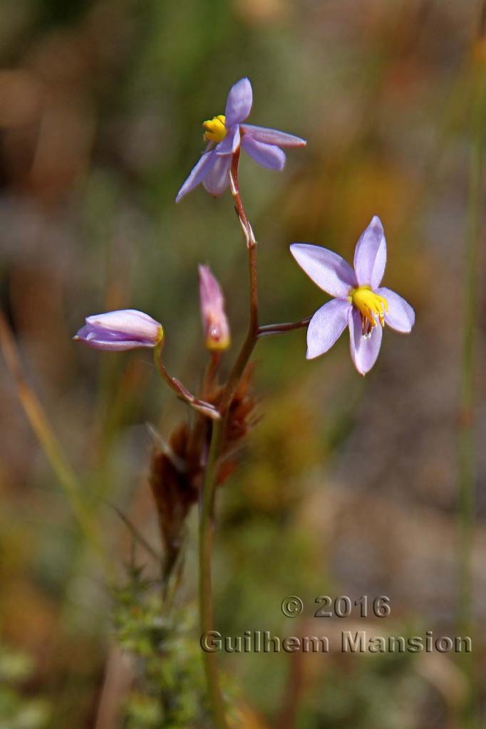 Cyanella hyacinthoides