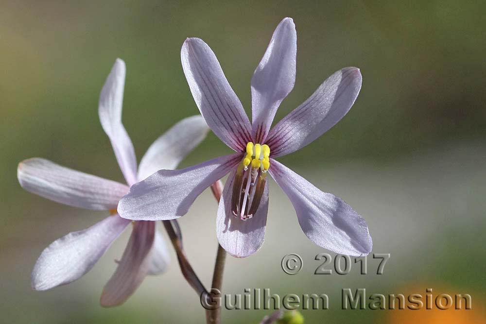 Tecophilaeaceae