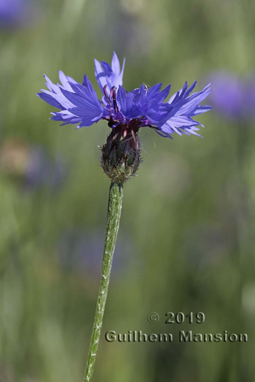 Cyanus segetum [Centaurea cyanus]