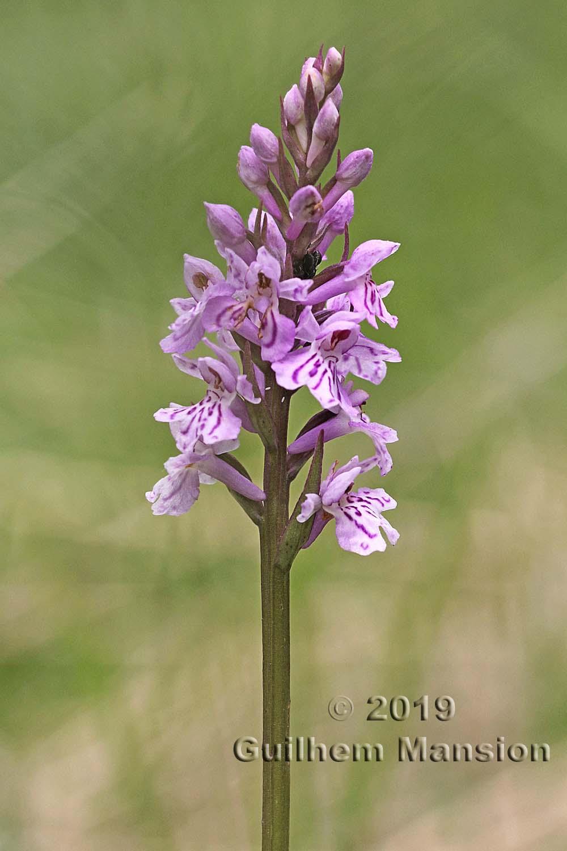 Dactylorhiza maculata subsp. fuchsii